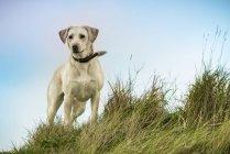 Labrador breed dog — Stock Photo