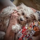 Cropped view of senior woman petting havanese dog — Stock Photo