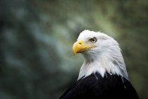 Дикие орла на открытом воздухе — стоковое фото