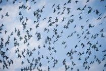Birds flying in sky — Stock Photo