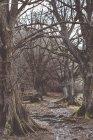 Sentier de la forêt chez les vieux arbres dénudés — Photo de stock