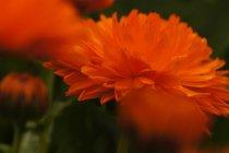 Blossoming garden flower — Stock Photo
