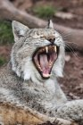 Closeup view of laying yawning cat outdoors — Stock Photo