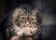 Longo-haired gato com olhos amarelos — Fotografia de Stock
