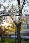 Arbre de floraison des cerisiers au printemps — Photo de stock