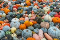 Pumpkins of different shapes and colors — Stock Photo
