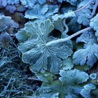 Planta de folhas coberta com gelo — Fotografia de Stock