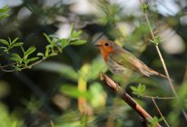 View of robin redbreast in tree foliage — Stock Photo
