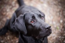 Labrador breed dog — Stock Photo