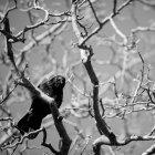 Corvo nero che si siede sul ramo — Foto stock