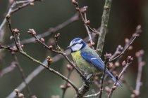 Mésange bleue, assis sur les branches d'arbres — Photo de stock