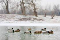 Canard des oiseaux dans leur habitat naturel — Photo de stock