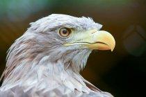 Wild Eagle im freien — Stockfoto