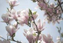 Magnolia flor en primavera - foto de stock