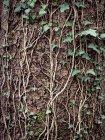 Vue du lierre sur tronc d'arbre — Photo de stock