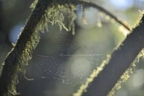 Spiders web on branches covered with moss — Stock Photo