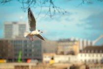 Чайка летить з розкритими крилами — стокове фото