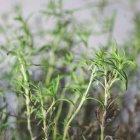 Piante di rosmarino verde — Foto stock