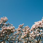 Blooming magnolia at spring — Stock Photo