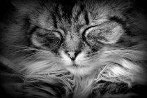 Спящая кошка длинношерстная — стоковое фото