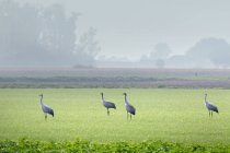 Grúas gris caminar sobre el prado verde - foto de stock