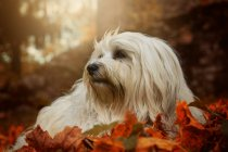 Furry dog on autumn leaves — Stock Photo