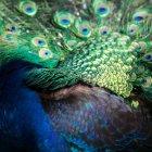 Colorful peacock bird — Stock Photo