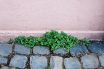 Ground paved with cobble stones and green plant growing by house wall — Stock Photo