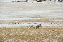 Дикі олень випасу на засніжених Луці — стокове фото