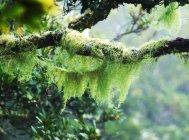Ветви деревьев, заросшие мхом — стоковое фото