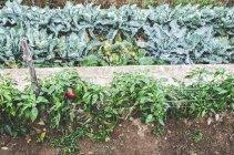 Elevó la vista diurna de pimiento rojo en jardín - foto de stock