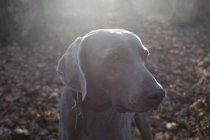 View of weimaraner dog in forest — Stock Photo