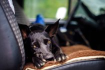 View of dog on car front seat looking in camera — Stock Photo