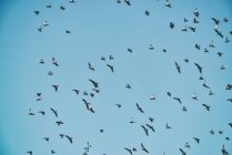 Vögel-Herde im blauen Himmel — Stockfoto