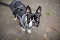 Close up of boston terrier outdoors — Stock Photo