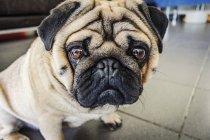 Собака, смотрящая на камеру — стоковое фото