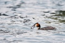 Crested grebe bird swimming in lake, side view — Stock Photo