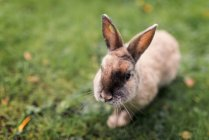 Close-up view of fluffy rabbit in field — Stock Photo