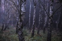 Birch tree trunks in foggy forest — Stock Photo