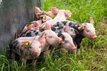 Cerdos domésticos en Prado de la granja - foto de stock