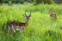 Wilde Rehe im natürlichen Lebensraum — Stockfoto
