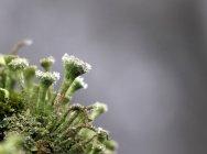 Primo piano del lichene verde — Foto stock