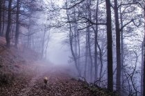 Stray dog walking in foggy forest — Stock Photo