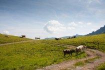 Mandria di mucche al pascolo all'aperto — Foto stock