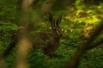 Ritagliate la vista delle lepri nella foresta — Foto stock
