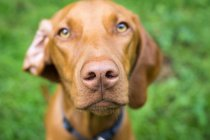 Portrait of hungarian dog looking in camera — Stock Photo