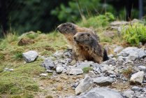 View of marmots peeping out of hole — Stock Photo