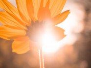 Yellow sunflower, close-up — Stock Photo