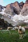 Gregge di pecore al pascolo all'aperto — Foto stock