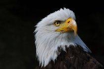 Орел на чорному тлі — стокове фото
